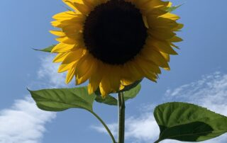 Cosmetic Uses for Sunflower Oil