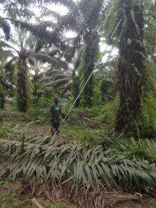 Harvesting Organic Palm
