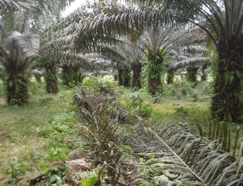 Palm Oil Demystified: Everything About Organic Palm Oil